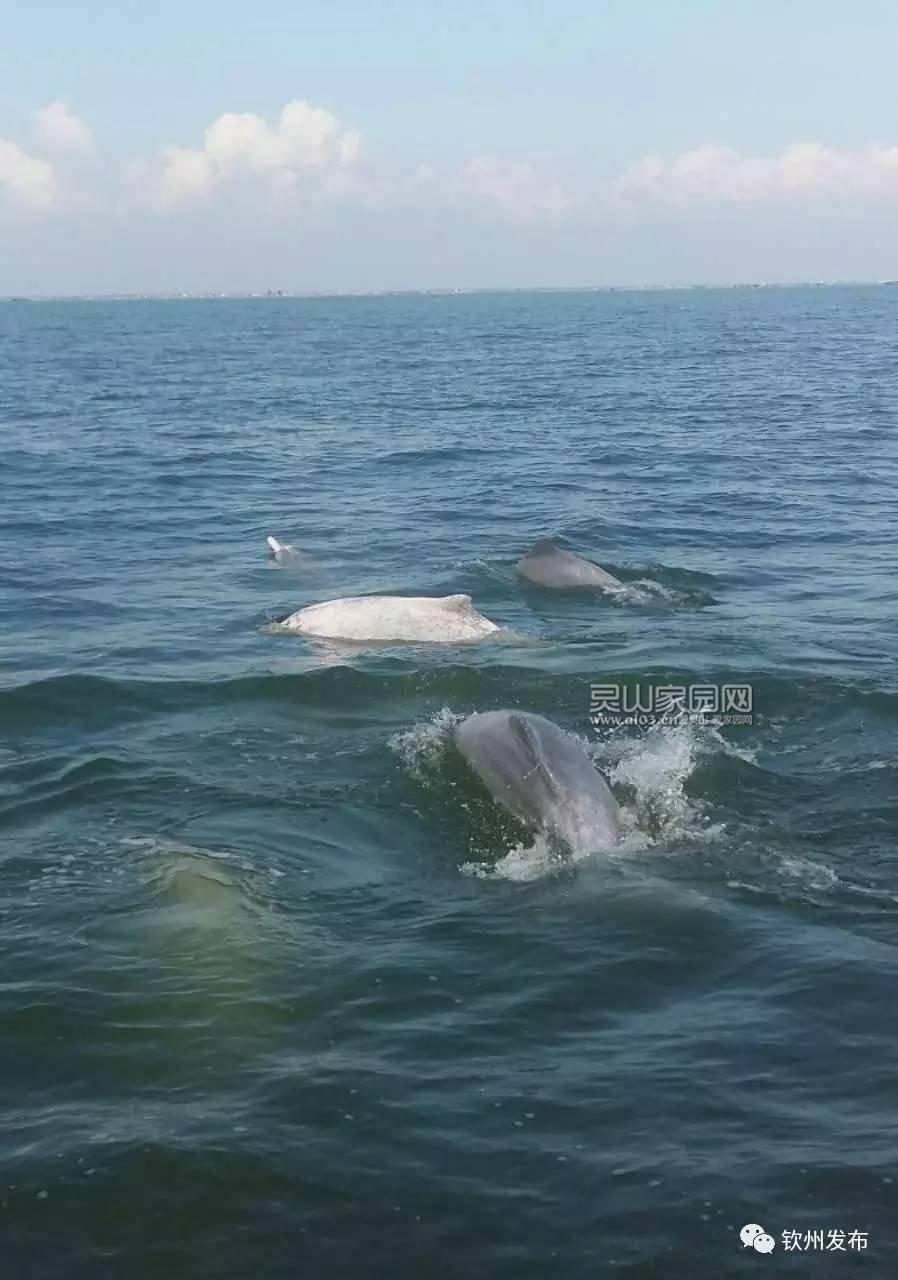 小眼睛,灵敏的小耳朵,一个调皮的小氧孔,还有滑滑的鳍组成了一条活泼可爱、聪明伶俐的中华白海豚。 2004年,三娘湾村开始搞旅游开发,渔民出身的林强凭着娴熟的驾驶技术,组织船只搭载游客出海观赏海豚,并主动承担起观测和保护海豚的任务。看见白海豚是一种幸运,而拍到白海豚更是一种幸福,之前也有很多市民网友拍到过萌萌的海豚。所以抽个时间就去三娘湾看看那可爱的白海豚吧!生活在钦州的你,怎么还好意思说你还没出海看过白海豚呢!一些市民网友拍到过海豚!