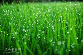 翠绿秧苗和晶莹小露珠