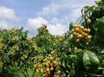 靈山黃皮果