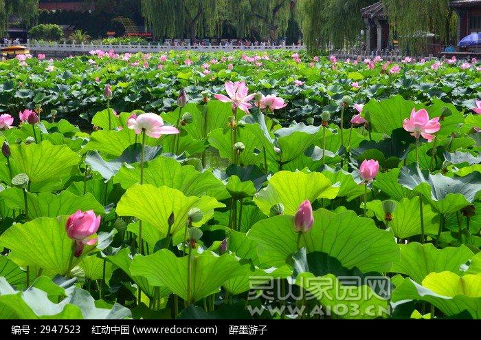 hehuachilishengkaidehehua_2947523.jpg