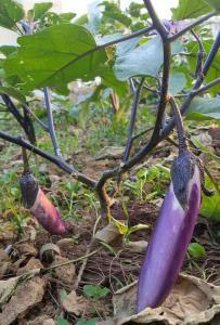 灵山自家种的茄子