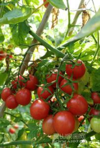 灵山珍珠茄