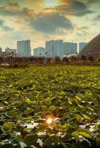 夏天快来了,荷塘、草地、鱼塘;六峰公园环山路湖边一