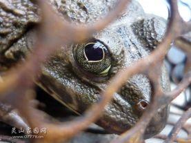 """青蛙的特写,待蒸的""""母蛤"""""""