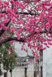 故乡的樱花了