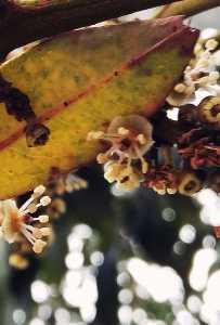 靈山荔枝花