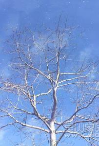 冬日里的木棉树