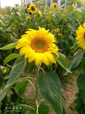 最陽光的花花