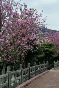紫荆花开,春天来了