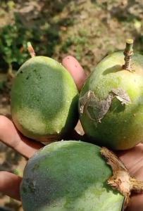 今秋新宠--荔枝味的绿皮百香果
